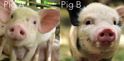 Branding and the Perfect Pig